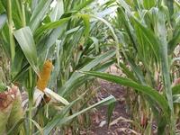 Maïs grain bio