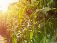 Maïs ensilage bio