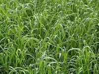 Ray-grass hybride