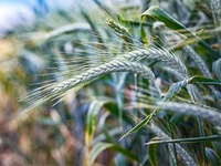 Sommaire triticale