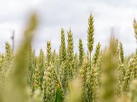 Sommaire blé