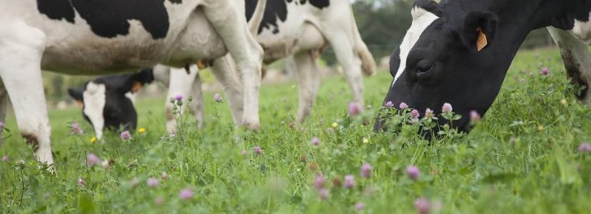 Vaches laitières Prim'Holstein pâturage