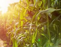 Maïs fourrage pour ensilage