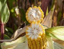 Maïs grain LG 31.224
