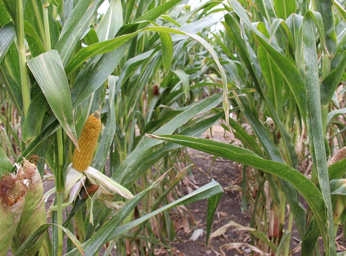 Semences maïs grain Bio