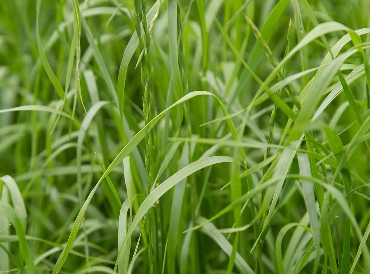 Semences Ray-grass d'Italie non-alternatif