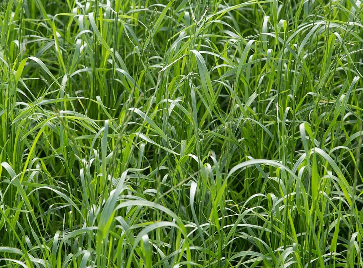 Semences Fourragères Ray-grass hybride