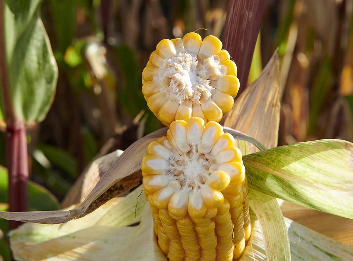 Semences Maïs Grain