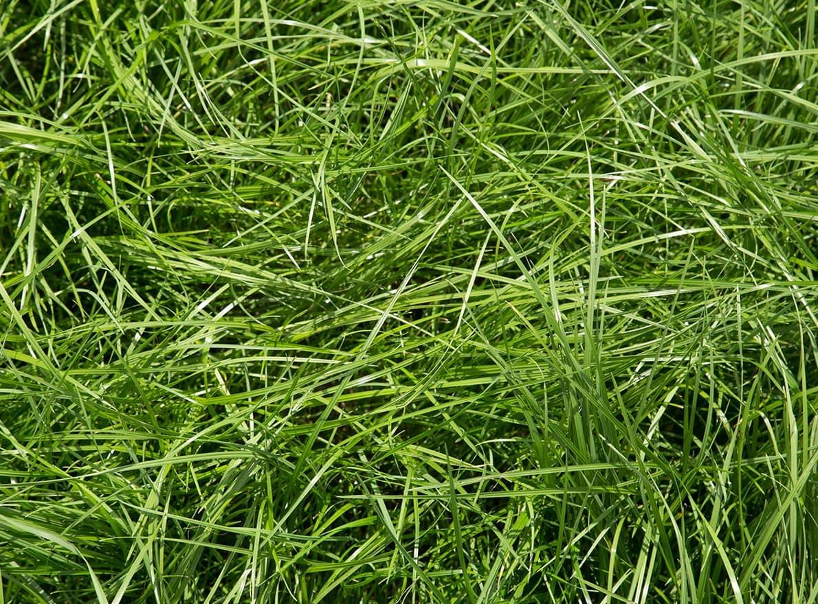 Semences Ray-Grass Anglais