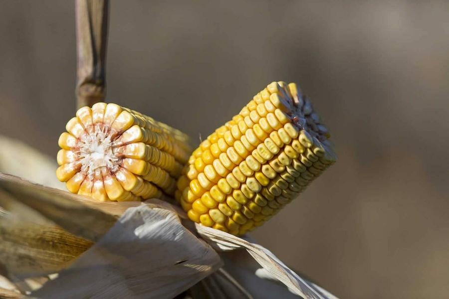 Connaître les débouchés du maïs grain