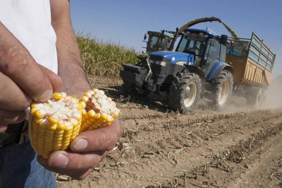Indice de précocité des variétés de maïs, comment le choisir ?