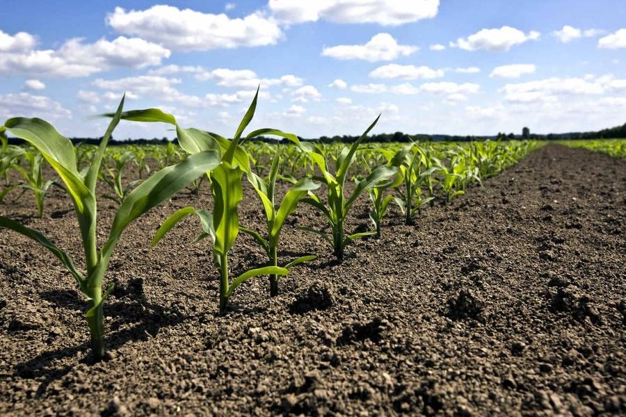 Comment sécuriser l'implantation de vos maïs ?