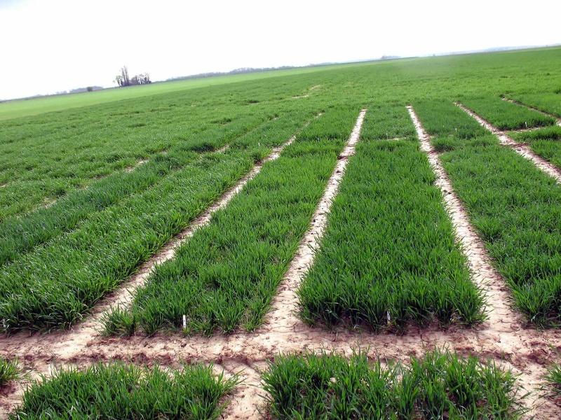 Peut-on semer du blé d'hiver en mars ?
