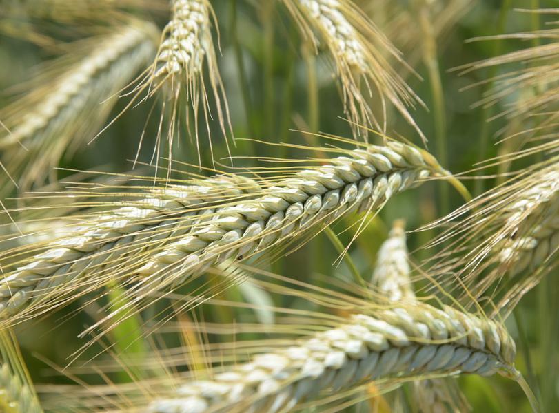 Comment interpréter les composantes de rendement des céréales ?