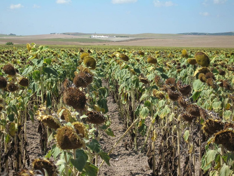 Comment améliorer la tolérance du tournesol à la sécheresse ?
