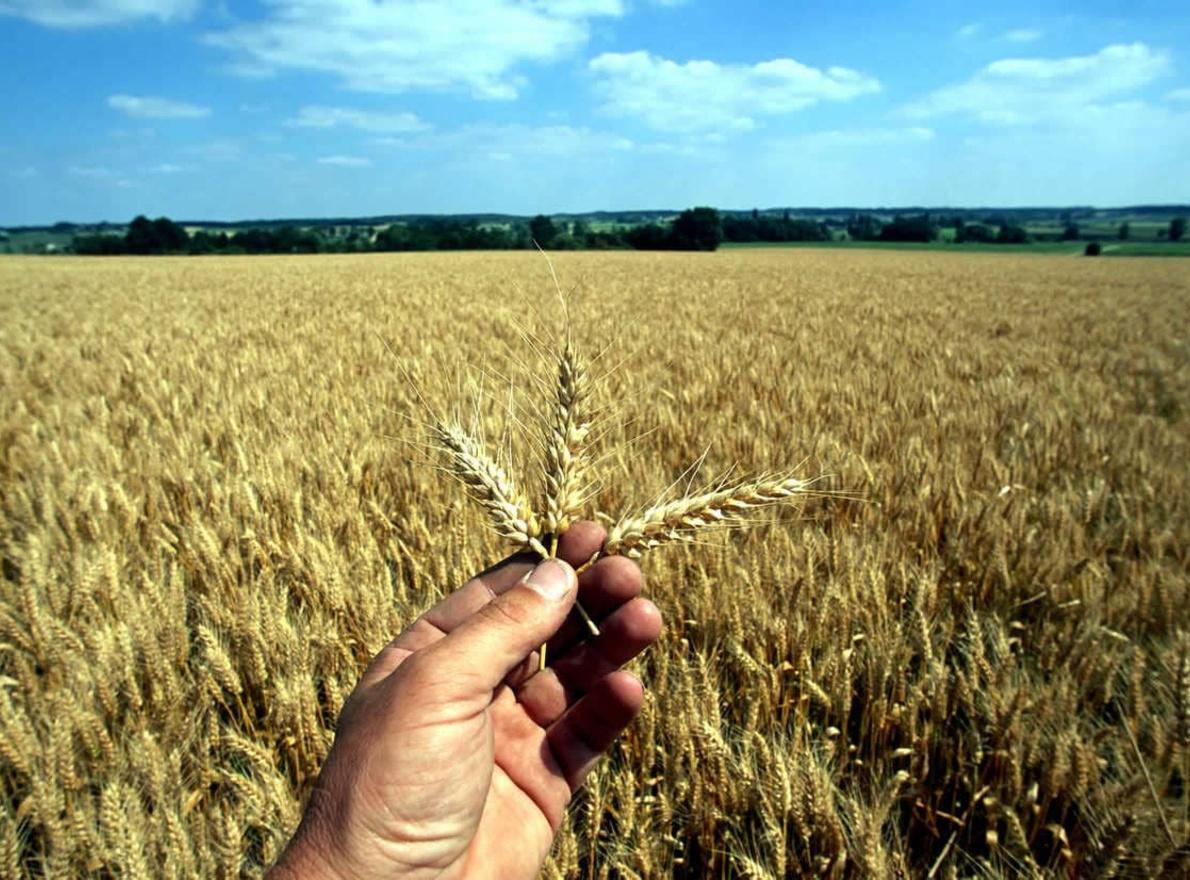 Quels sont les débouchés des blés ?