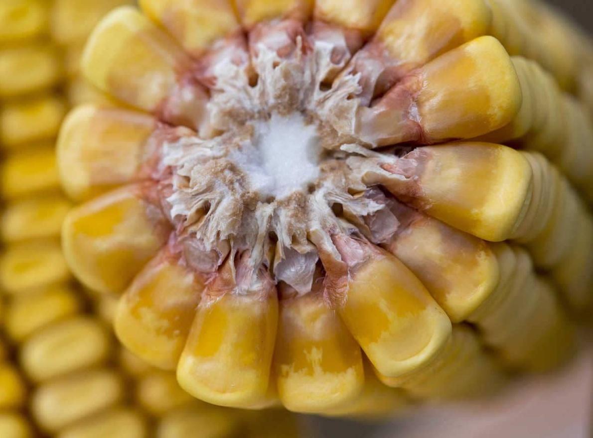 Découvrir les usages du maïs