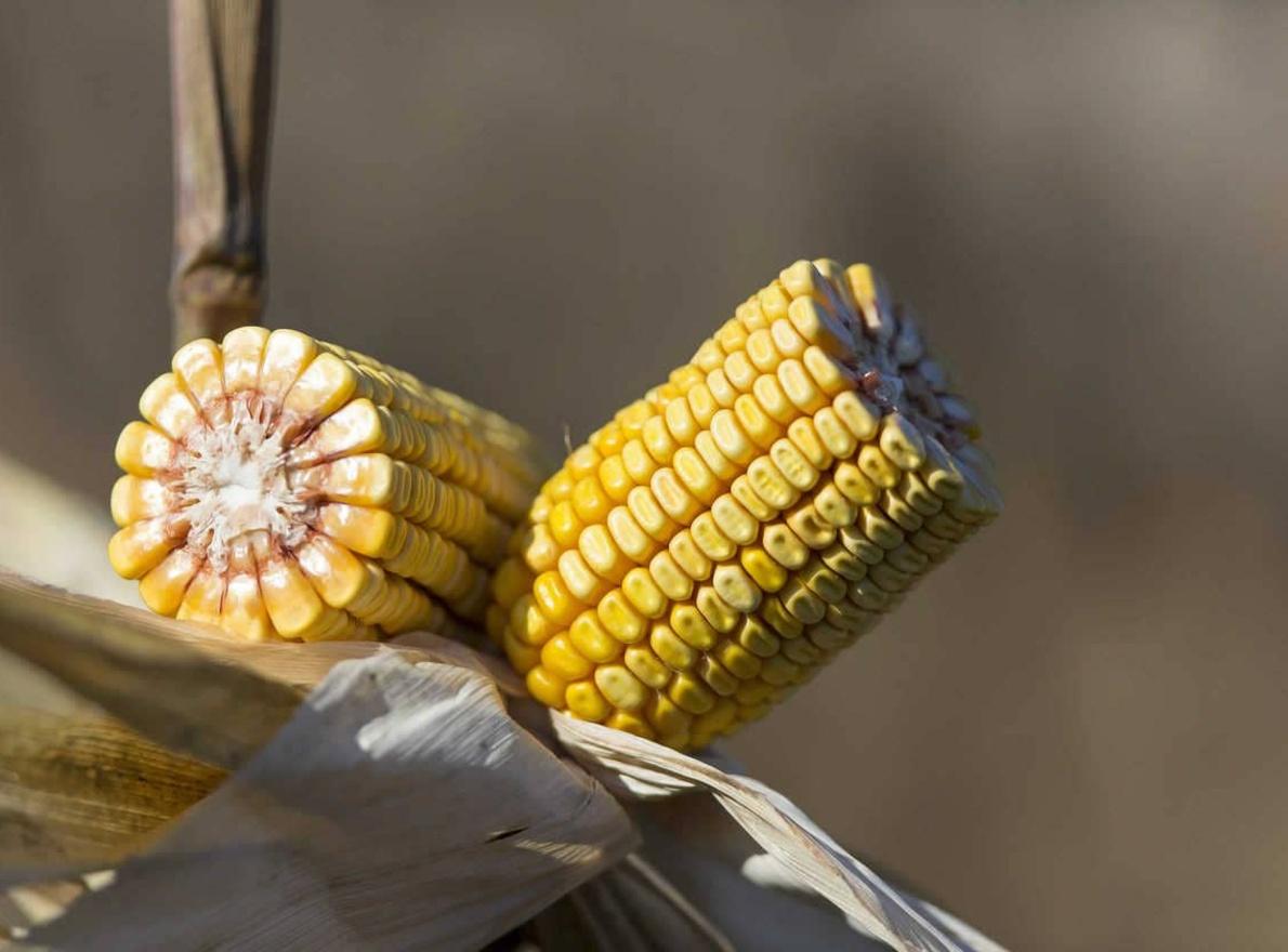 Connaitre les débouchés du maïs grain