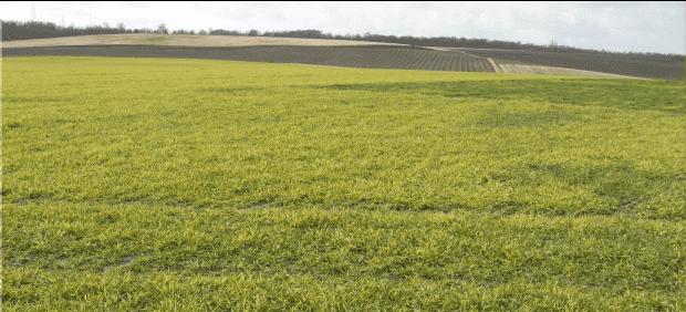 Parcelles contaminées par les mosaïques, quelles céréales implanter ?