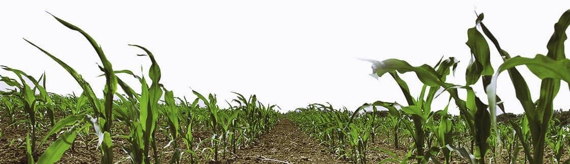 Starcover : la nouvelle technologie de stimulation des semences maïs