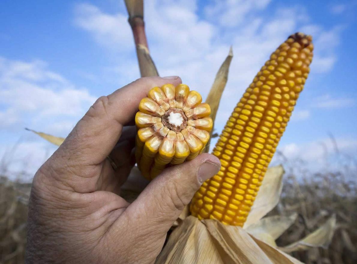 Découvrir les apports du maïs en semoulerie