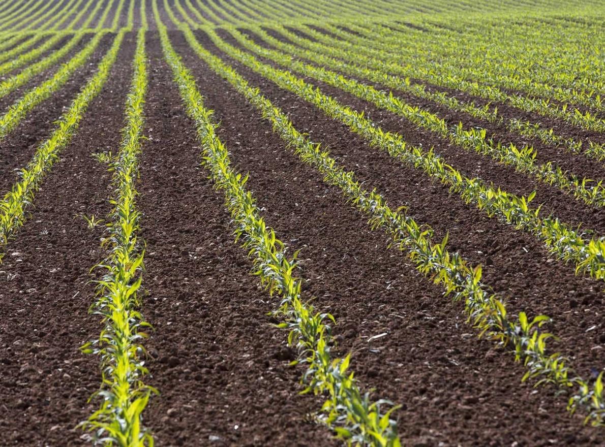 Les Fermes LG Progrès : le semis de maïs dérobé