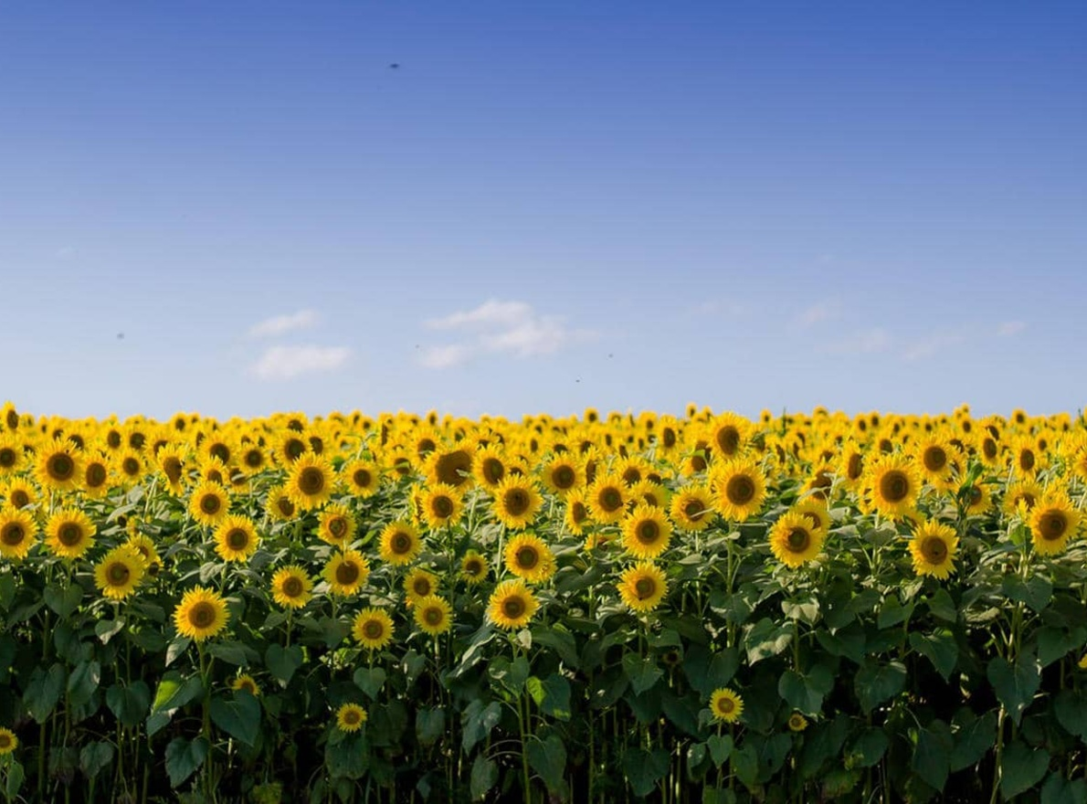 Terres Inovia et LG s'unissent autour de la culture du tournesol