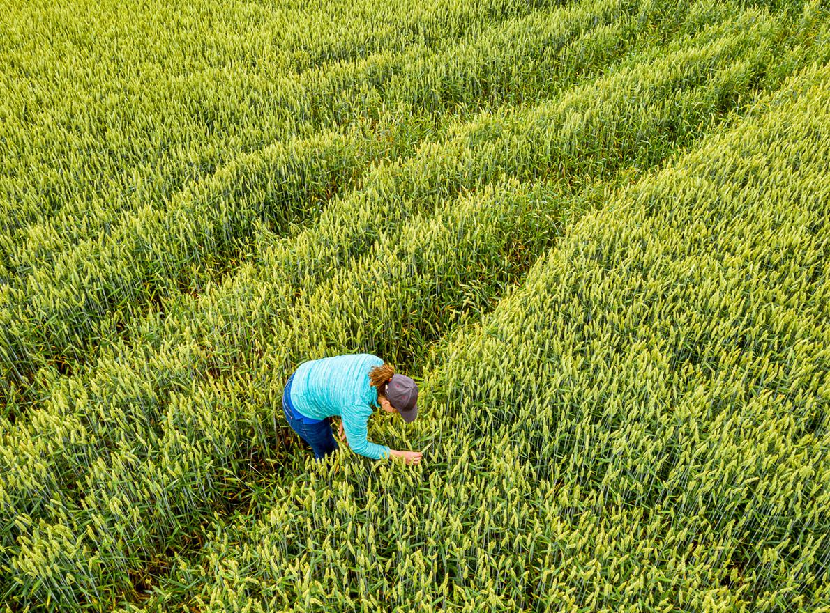 En blé sur blé, comment choisir les variétés les mieux adaptées ?