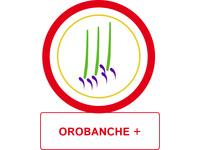 Orobanche