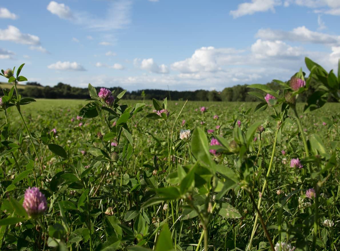 Prairie fourragère temporaire trèfle violet