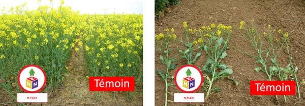 Photographie Colza LG N-FLEX hybrides vs témoins en essais réduction d'azote