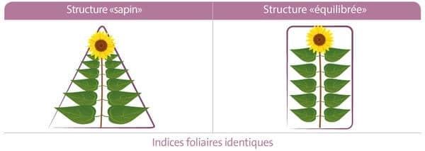 Structure du tournesol