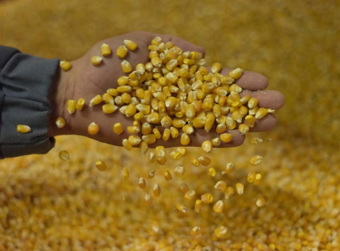 Maïs grain semences