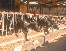Exploitation agricole éleveur laitier