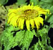 Contamination primaire plante