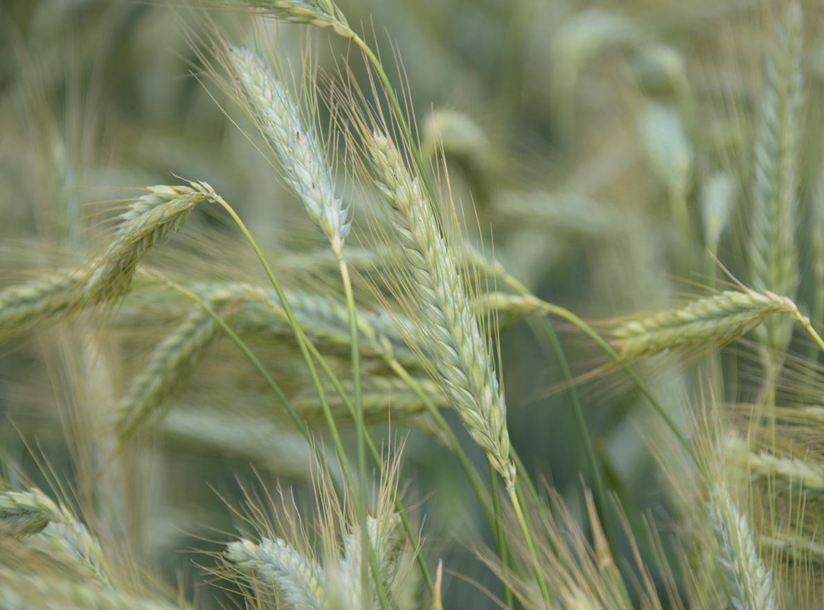 Triticale en agriculture biologique
