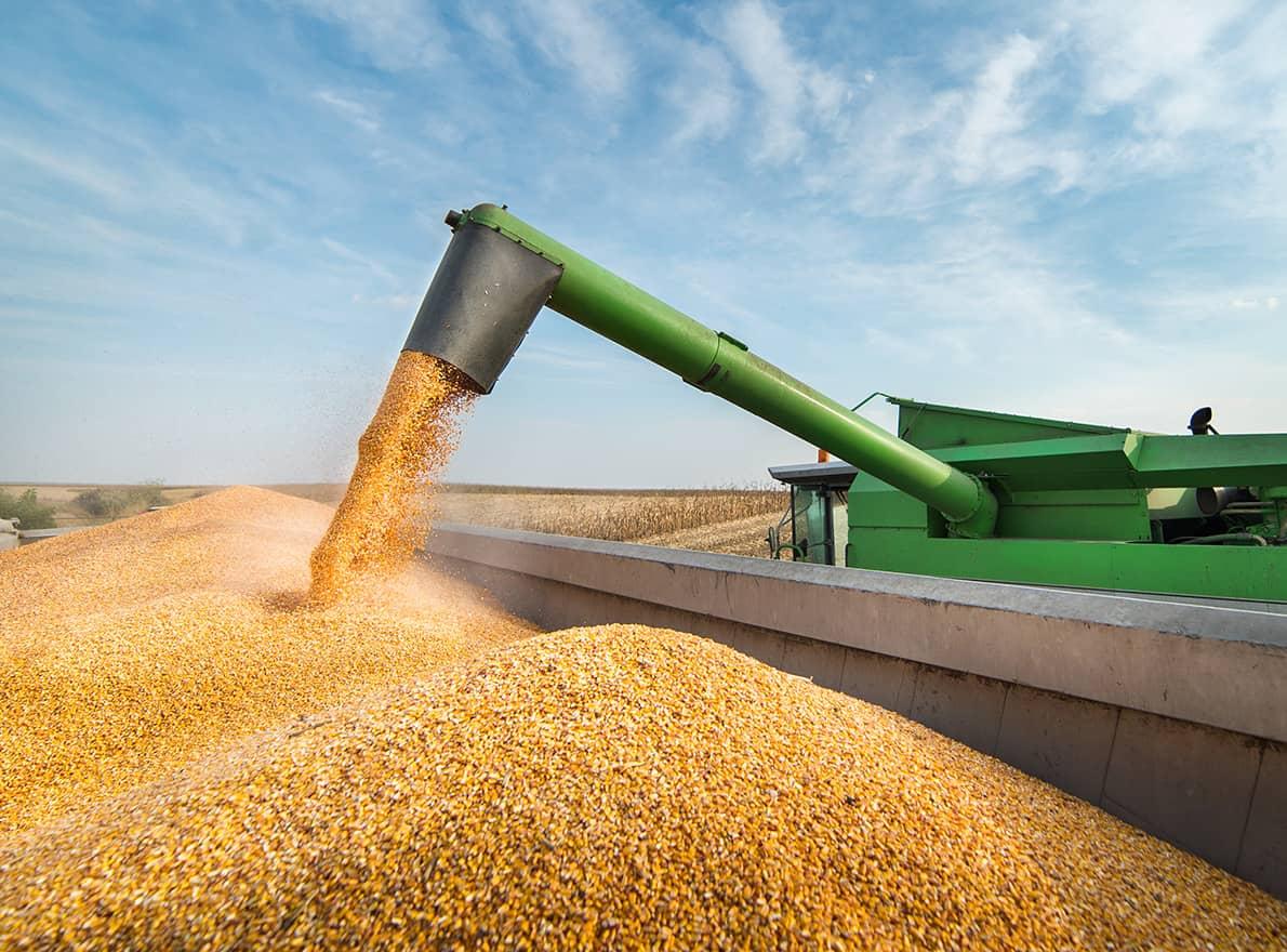Maïs grain récolte