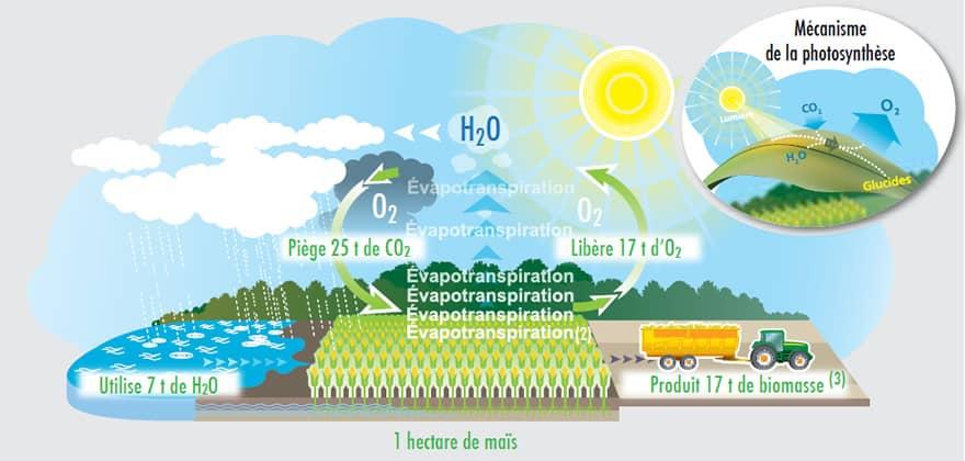 Photosynthèse maïs