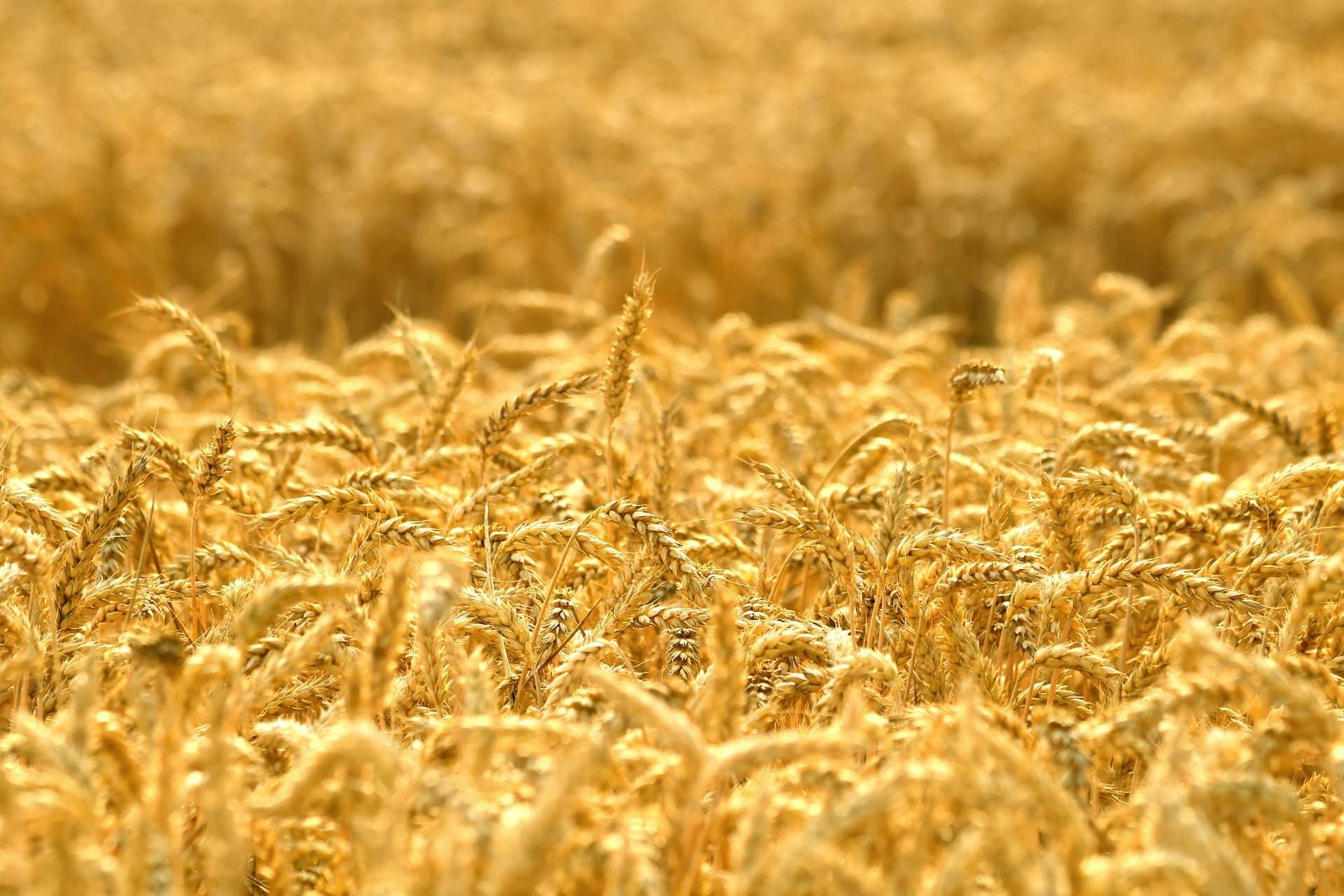 Culture blé tendre LG
