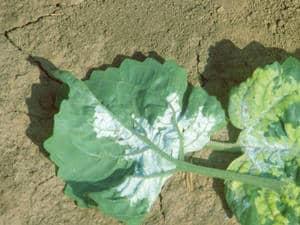 Plant tournesol mildiousé