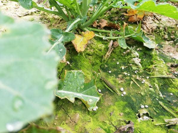 LG Colza - Photographie granulés d'azote non dissous 15 j après épandage