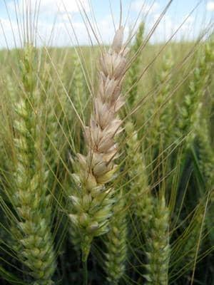 Fusariose sur épi de blé