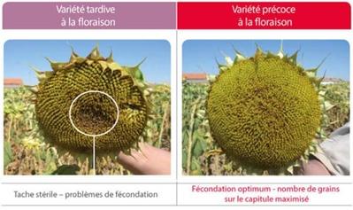Floraison tournesol selon choix variétal