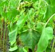 Contamination secondaire mildiou toute plante
